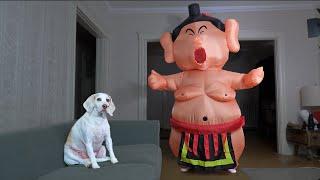 Dog vs Sumo Wrestler Prank: Funny Dog Maymo Learns to Sumo Wrestle