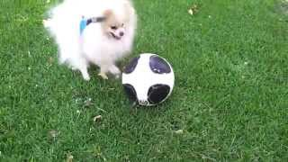 White pomeranian playing with a soccer ball