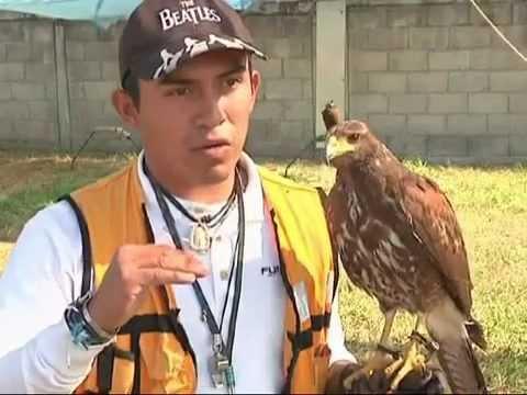 CONTROL DE AVES CON CETRERÍA EN AEROPUERTO INTERNACIONAL DE LA CIUDAD DE MÉXICO AICM