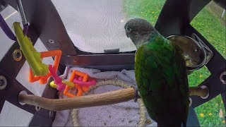 Green Cheek Conure in a Backpack, Part 2 of 2
