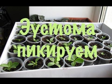 Эустома лизиантус.Как вырастить эустому из семян. 4 пикировка.