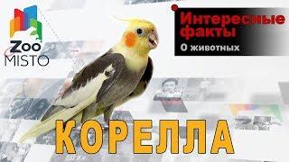 Корелла - Интересные факты о виде птицы  | Вид попугая корелла