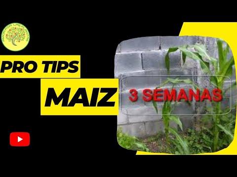 Cuidados de la planta de palomitas de maiz