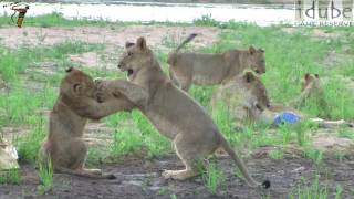 Lion Cubs Play In The Riverbed