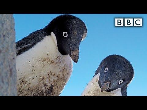 Krádež tučňáčího vejce - Spy in the Wild