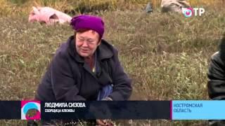 Социальный репортаж: В Костромской области собирают рекордный урожай клюквы -- до 15 тонн с гектара
