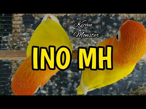 mp4 Lovebird Lutino Mh, download Lovebird Lutino Mh video klip Lovebird Lutino Mh