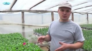 Чем подкармливать петунию для обильного цветения
