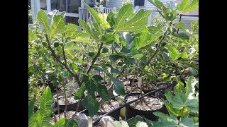 My Most Important Tip for Productive Fig Trees