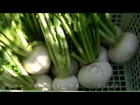 園芸便り 野菜編 蕪の収穫