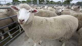 What buyers are looking for when purchasing Lambs