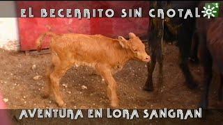 Becerrito Bravo De Lora Sangrán Sin Crotal Y Vacas Para Rejoneo | Toros Desde Andalucía