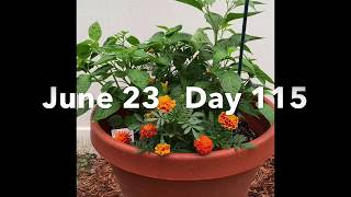 2020 Pepper Grow seed to sauce June part 2
