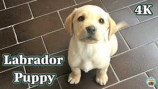 Labrador Puppy - First Day At Home 4K