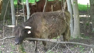 Sutherland Cows 4K