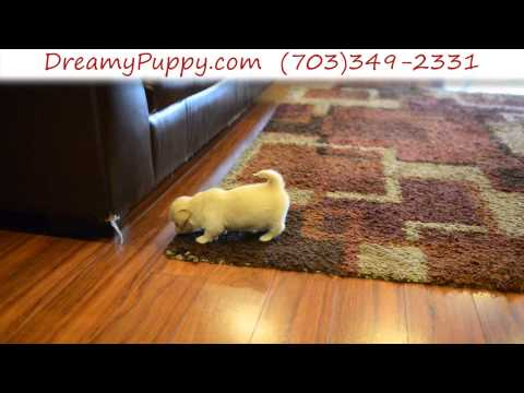 Adorable Toy Pekingese Male Puppy