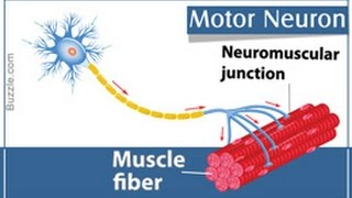 Motor Neurons Location Structure and Function