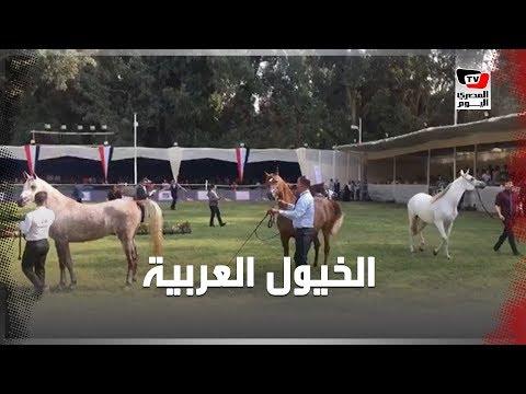 انطلاق المرحلة الأولى من بطولة مصر القومية لجمال الخيول العربية