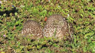 Burrowing Owls near Fort Myers, Florida