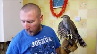 09.12.18 Как приручить дикого ястреба:)  Перепелятник:)  little hawk