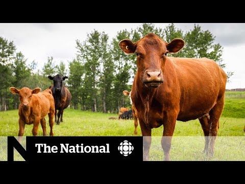 China bans Canadian meat, concerning farmers across the prairies
