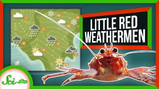 The Little Lobster That Reveals Climate