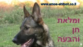 גלידה - כלבת רועה גרמני מאולפת למכירה