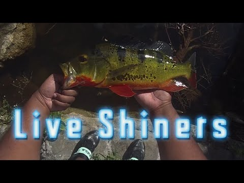 Peacock Bass Live Bait Shiner Fishing ᴴᴰ