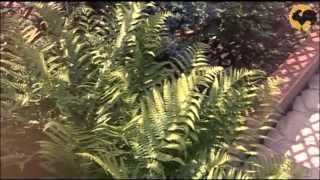 Рододендроны в ландшафтном дизайне видео