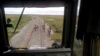 Олени мешают поезду