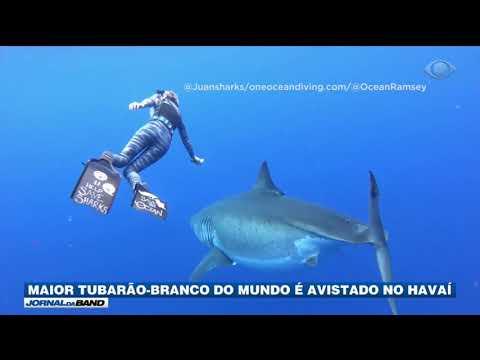 Maior tubarão-branco do mundo é avistado no Havaí