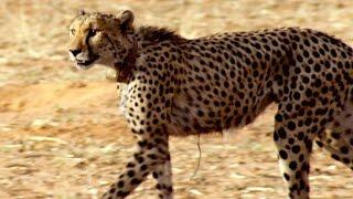 Incredible: A Cheetah Sprints to Catch a Springbok