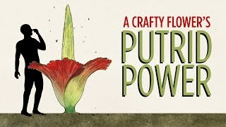 The Stink Of The Corpse Flower, Explained   NPR