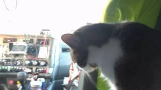 Trucker cat playing fetch