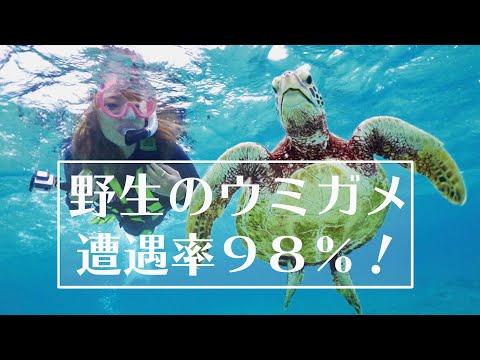遭遇率98%!宮古島で海亀と泳ごう