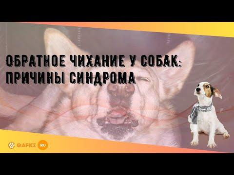 Обратное чихание у собак: причины синдрома