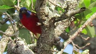 Royal Blue Head & Green Neck on Painted Bunting Pinckney Island National Wildlife Refuge
