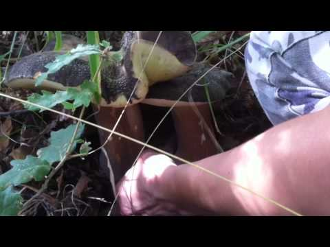 Il catrame di betulla tratta un fungo di posizione di unghie