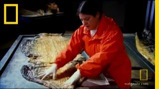 Solar Panel Croc Skin | National Geographic thumbnail