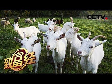 , title : '《致富经》上门女婿巧卖羊 一只价值7000元 20181011 | CCTV农业