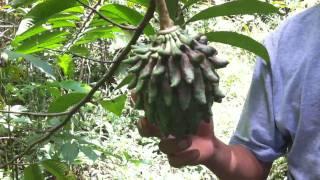 Annona Fruit near Paucarina Lodge in Peruvian Amazonia
