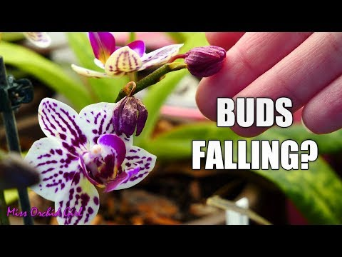 , title : 'Orchid buds dry and fall! - Bud blast, causes and fixes!