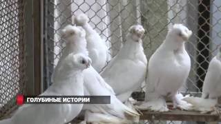Любовь и голуби или любовь к голубям?