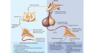 Chapter 16- Adrenal Medulla