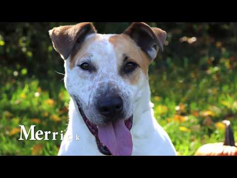 Merrick, an adoptable Bull Terrier & Australian Cattle Dog / Blue Heeler Mix in Kansas City, KS