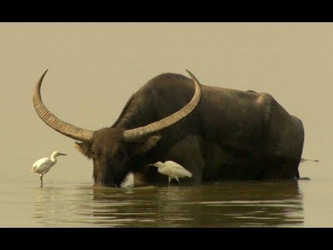 , title : 'Water buffalos (Bubalus arnee) in Kaziranga