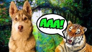 Я СОЖРАЛ ТИГРА (Хаски Бублик) Говорящая собака