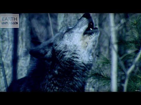 Proč vlci vyjí na měsíc?
