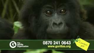 Adopt an infant mountain gorilla and help save a species from extinction