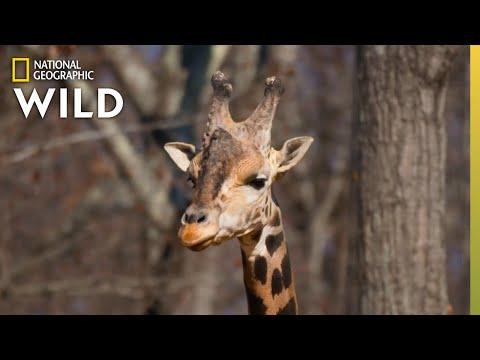Welcoming a New Giraffe | Secrets of the Zoo